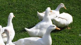 Flock of white ducks. A flock of white ducks wandering a grass meadow Stock Images