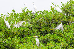 Flock Of White Egrets Royalty Free Stock Photo
