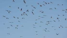 Flock of white-eyed gulls hovering in the sky Stock Images