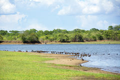 Flock of White-Faced Ducks next to a Dam Stock Images