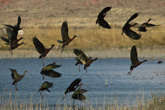 Flock of White Faced Ibis Royalty Free Stock Photos