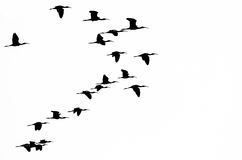 Flock of White-faced Ibis Silhouetted on a White Background Stock Images