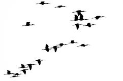 Flock of White-faced Ibis Silhouetted on a White Background Stock Photography