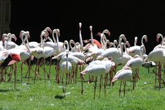 Flock of White Flamingoes Royalty Free Stock Photography