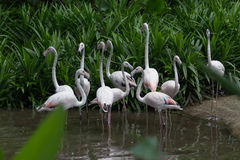 Flock of White flamingos Royalty Free Stock Images