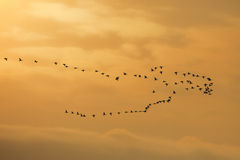 Flock of white-fronted geese Stock Image