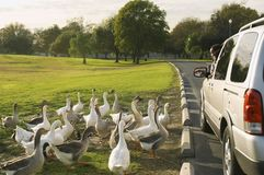 Flock Of White Geese By Car Stock Photography