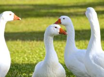 Flock of white geese closeup Stock Photos