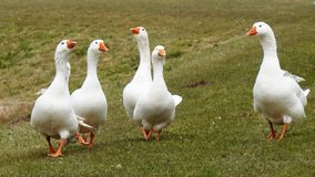A flock of white geese stock images