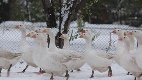 A flock of white geese running after each other. stock video