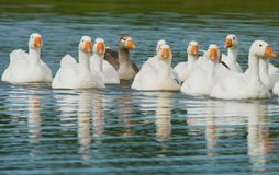 Flock of white geese swimming Stock Images