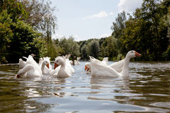 Flock of white geese swimming Royalty Free Stock Photos