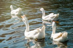 Flock of white geese swimming in group. Flock of white male and female geese swimming in group in river on sunny summer day royalty free stock images