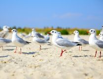 Flock of white gulls royalty free stock photography