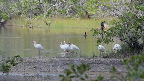 A flock of White Ibis Eudocimus albus standing in a swamp in Zapata, Cuba. stock footage