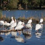 Flock of white ibis in shallow water Stock Photos