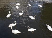 Flock of white mute swans swimming on water. Flock of white mute swans swimming on rippling water with sunlight reflections viewed high angle from above Stock Photos