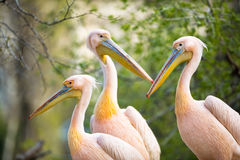 Flock of white pelican Royalty Free Stock Photo