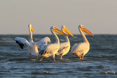 A flock of white pelican stand on the water Stock Photography