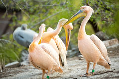 Flock of white pelican Stock Images