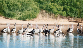 Flock  of White Pelicans Royalty Free Stock Image