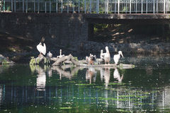 Flock of white pelicans at city pond Stock Images