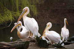 Flock of white pelicans on the lake. Pelecanus onocrotalus Royalty Free Stock Photo