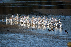 Flock of White Pelicans Royalty Free Stock Photos