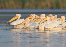 A flock of white pelicans in the soft morning light floats. Along the lake Royalty Free Stock Photos