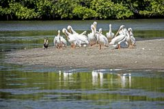 A flock of White Pelicans together on a sandbar. A flock of White Pelicans together stock photo