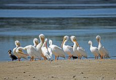 A flock of White Pelicans together on a sandbar. A flock of White Pelicans together stock image