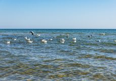 Flock of white sea gulls floating on the waves of the Black Sea royalty free stock images