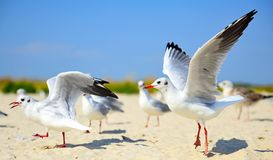 Flock of white sea gulls on the sandy beach royalty free stock image