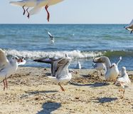 Flock of white sea gulls on the sandy coast of the Black Sea royalty free stock photo