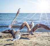 Flock of white sea gulls on the sandy shore of the Black Sea stock photo