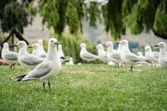 Flock of white seagull in New Zealand stock photography