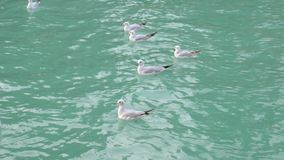Flock of white seagulls are floating on turquoise water of sea in daytime, close-up. Of wild birds stock video footage