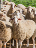 A flock of white sheep Royalty Free Stock Image