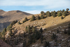 A flock of white sheeps is grazing on a Tibetan mountain slope Royalty Free Stock Image