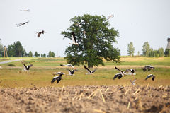 Flock of white storks Royalty Free Stock Photography
