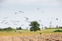 Flock of white storks Royalty Free Stock Photo