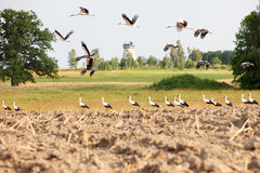 Flock of white storks Royalty Free Stock Image