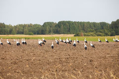 Flock of white storks Royalty Free Stock Photos