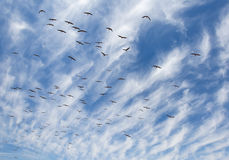 Flock of White Storks Stock Photos