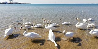 A flock of white swans к sea water on a sunny day stock photography