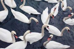 Flock of White Swans Floating on Dark Water.  royalty free stock image