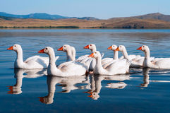 Flock of white swimming geese. Flock of white geese swimming on water with reflection Stock Photography