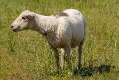 Flock of white swiss sheep standing outdoors Royalty Free Stock Photo