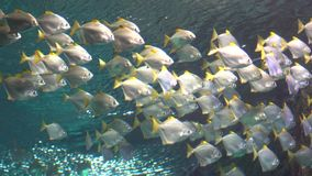 A flock of white tropical fish swims under water. A view from under the water. Visible water surface stock video footage