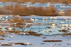 Flock of Whooper Swan Stock Photos